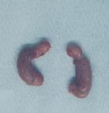 去勢手術で摘出した睾丸